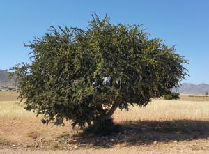 argania spinosa medis